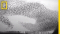 When millions of starlings fly together things get eerie